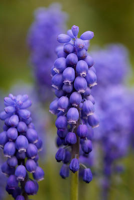 Szafirek groniasty (Muscari neglectum)
